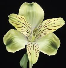 Als 2 What Do You Know About Alstroemeria?
