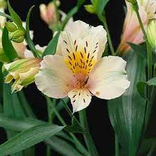 Als 4 What Do You Know About Alstroemeria?