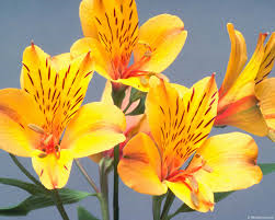 Als What Do You Know About Alstroemeria?