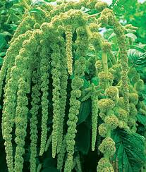 Ama 1 What Do You Know About Amaranthus?