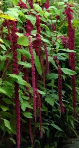 Ama 4 160x300 What Do You Know About Amaranthus?