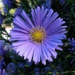 Aster - Title