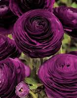 Ran 1 What Do You Know About Ranunculus?