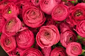 Ran 2 What Do You Know About Ranunculus?
