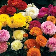 Ran 4 What Do You Know About Ranunculus?