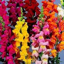 Snap 4 What Do You Know About Snapdragons?