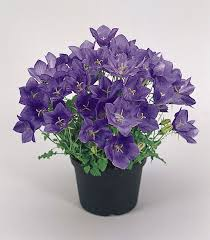 Cam 1 What do You Know about Campanula?