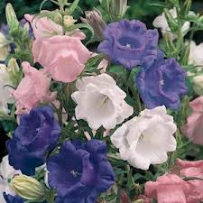 Cam 2 What do You Know about Campanula?