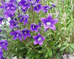 Cam 4 What do You Know about Campanula?