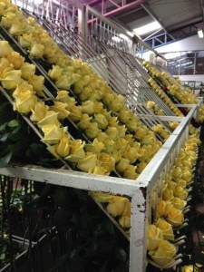 Farm Processing 225x300 A Closer Look At Our Flowers From Ecuador