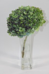 Green Hydrangea 200x300 The Beauty Of Hydrangeas