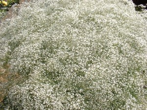 babys breath 8 300x225 Why Buy Wholeblossoms Wholesale Baby's Breath Flower Filler?