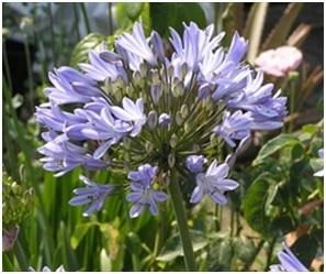 Bulk Blue Agapanthus