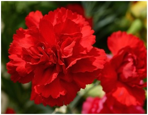 Mother's Day Love with Carnations