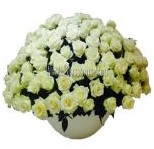 white_wholesale_roses_2