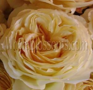 Antique Caramel Garden Rose