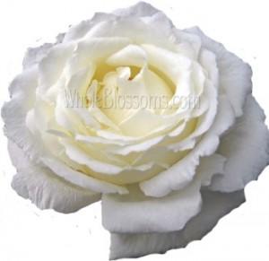 Cream Ivory Garden Rose