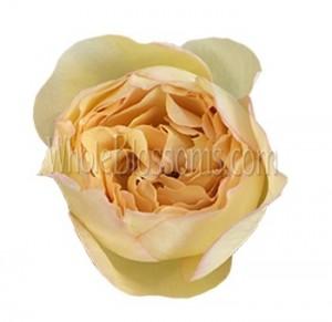 Just Peachy Garden Rose Flower