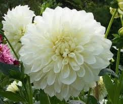 Types of white flower decide your choice floral trends diy types of white flower dahlia mightylinksfo