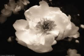 Types of white flower decide your choice floral trends diy types of white flower peony mightylinksfo