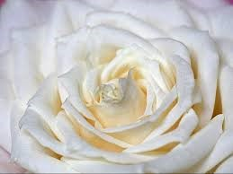 Types of White Flower Rosa