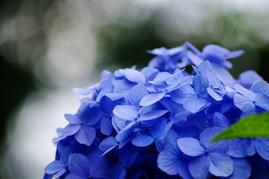 Hydrangea flowers wholesale