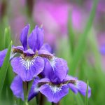 Cheap iris flowers in bulk