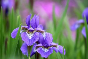 Cheap iris flowers in bulk