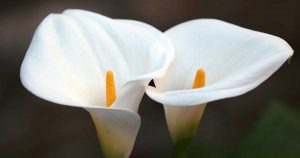 Calla lilies for sale