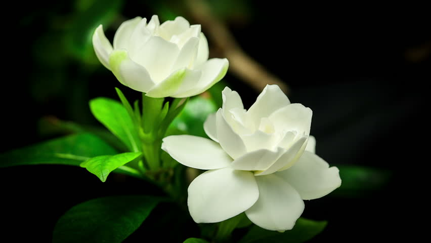 Gardenia flowers for sale
