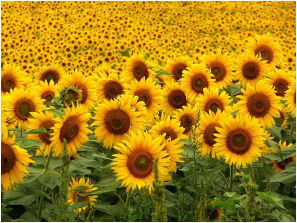 Bulk Sunflower