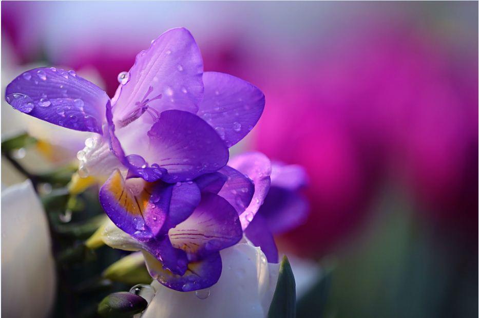Freesia Flower