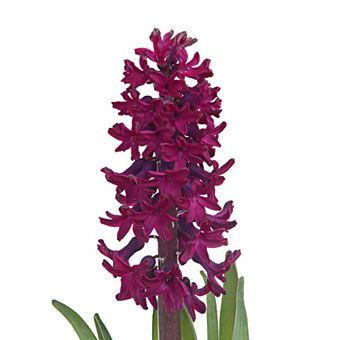 Hyacinth Burgundy Dark Plum Flowers