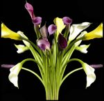 Assorted Mini Calla Lilies