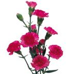 Carnation Hot Pink Flowers Mini