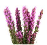 Liatris Flower Wholesale