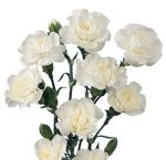 Carnation White Flowers Mini