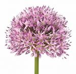 Allium Lavender Flower