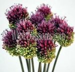 Allium Purple Burgundy Flower