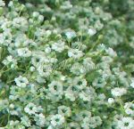 Baby's Breath Green Filler