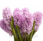 Hyacinth Wedding Flowers