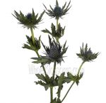 Wholesale Thistle Flowers