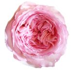 Carmeline Light Pink Spray Garden Rose