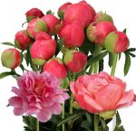 Coral Peony Flowers