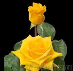 Gold Star Yellow Rose
