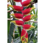 Red Hanging Heliconia Flower