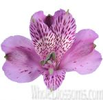 Lavender Purple Alstroemeria Flower