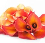 Orange Calla Lily Mini
