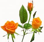 Orange Sweetheart Rose