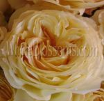 Caramel Antique Garden Rose